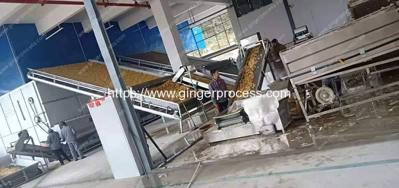 Ginger-Washing-Stone-Removing-Slicing-and-Multi-Layer-Dryer-Plant